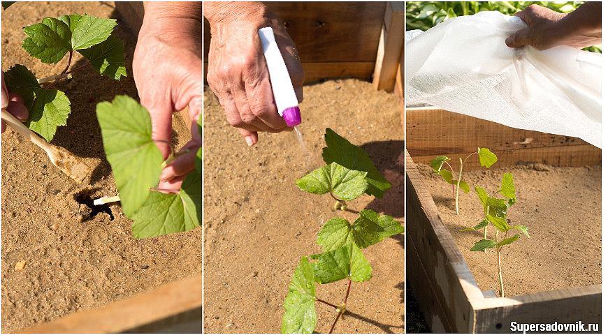 Размножение чёрной смородины зелёными черенками