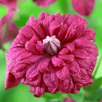 Клематис пурпуреа плена элеганс: описание и уход, отзывы и фото
