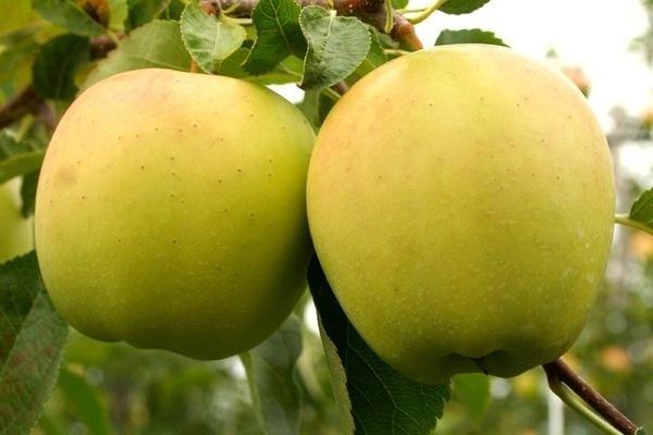 Яблоня ред делишес: описание и характеристика сорта