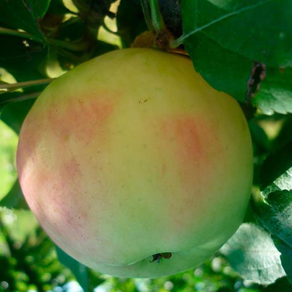 Зимние сорта яблок с описанием