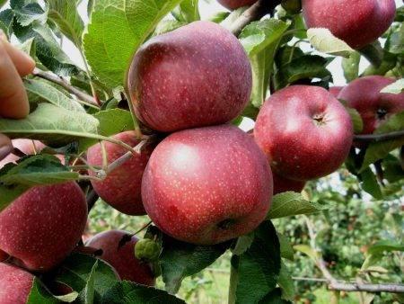 Яблоки каштель: описание сорта, фото, отзывы