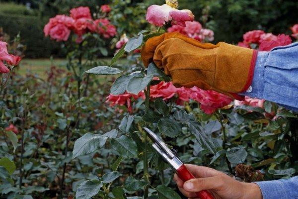 как приготовить розы к зиме