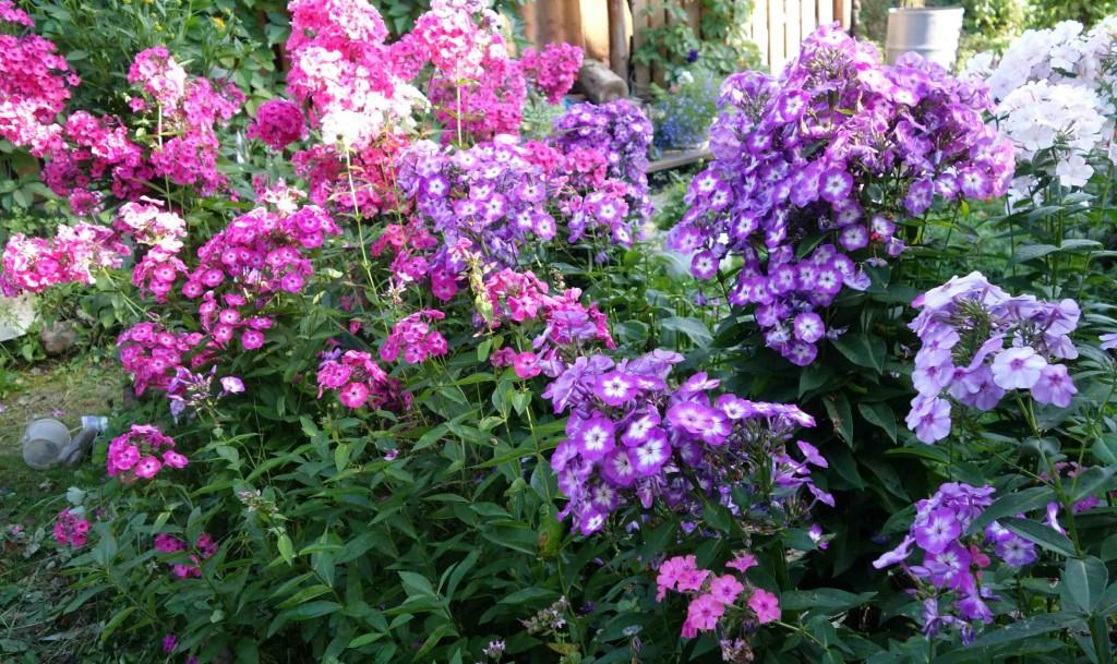 Флоксы – рекордсмены по цветению: описание, посадка в открытом грунте, размножение и уход (85+ фото & видео) +отзывы