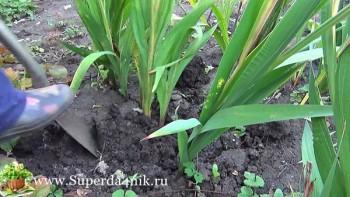 Когда выкапывать гладиолусы после цветения и как их хранить правильно