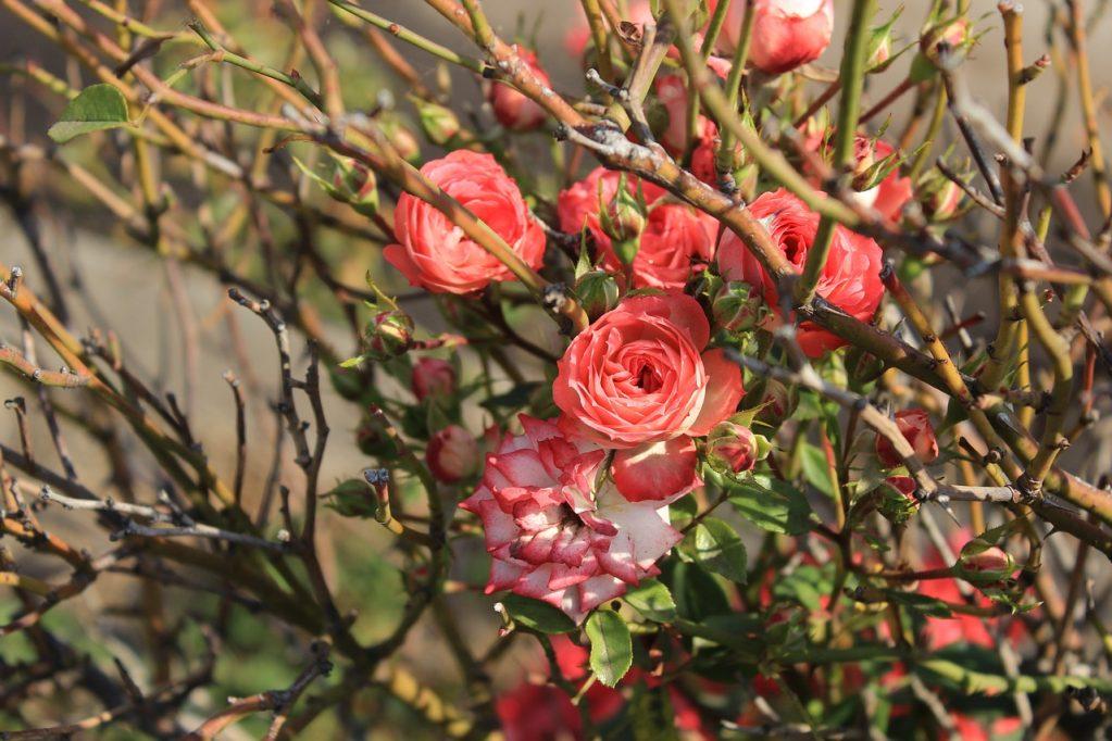 розы уход осенью подготовка к зиме обрезка