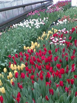 Посадка тюльпанов осенью: когда и как посадить цветы в открытый грунт?