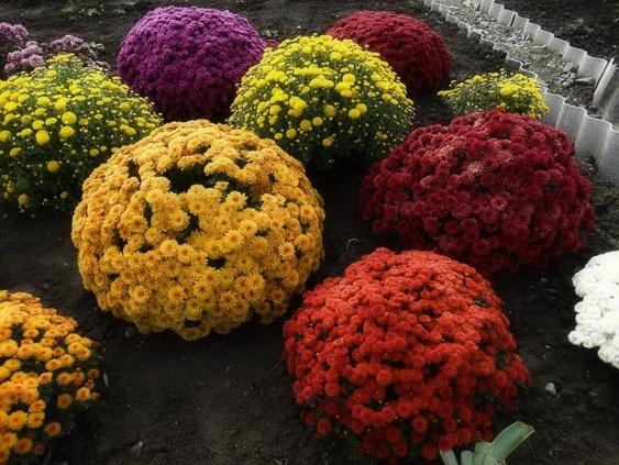 Многолетняя корейская хризантема умка