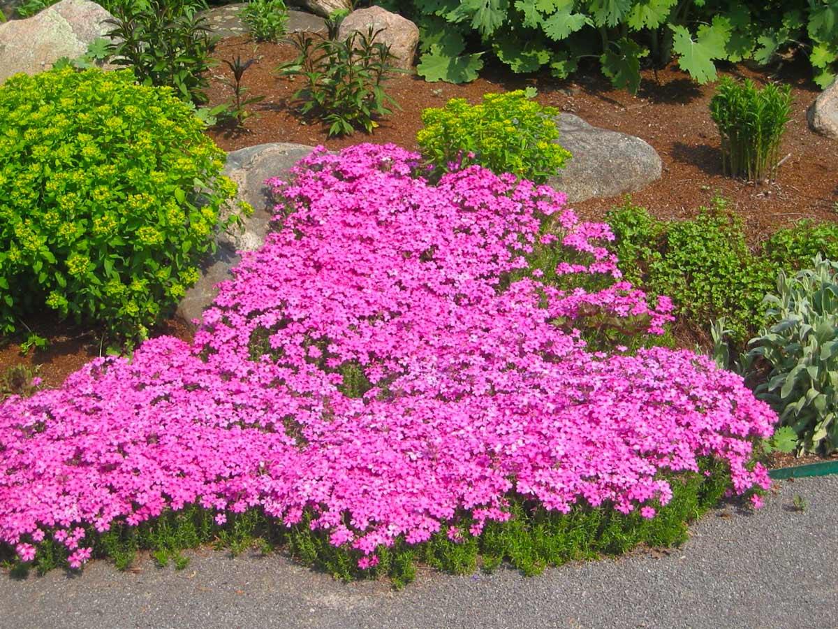 почвопокровники многолетние цветущие с весны до осени