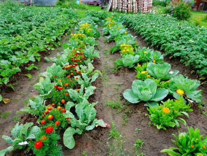 Распространенные схемы посадки картофеля