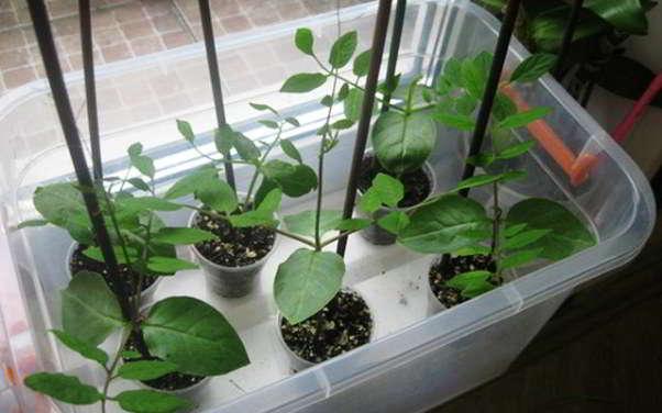 Все о кобее лазающей: выращивание из семян, посадка и уход в открытом грунте