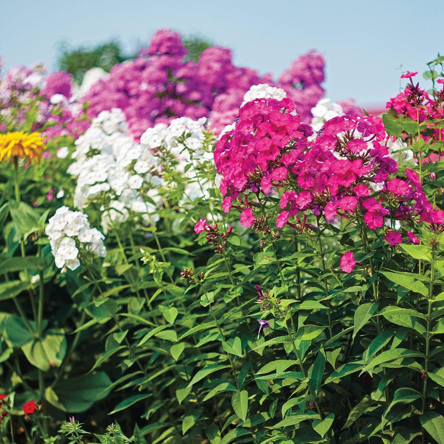 флоксы цветы фото