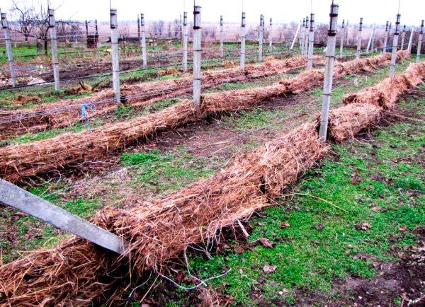 как правильно подготовить виноград к зиме