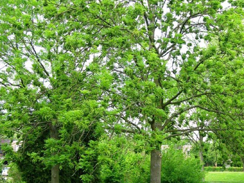 Ясень: фото дерева и листьев, описание, разновидности и интересные факты - sadovnikam.ru