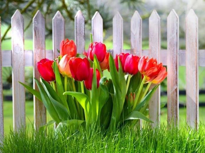Как красиво посадить тюльпаны на своем участке - популярные сорта и виды посадки