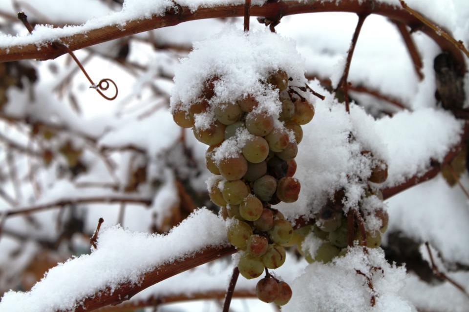 Уход за виноградом осенью, подготовка к зиме: подкормка, обрезка, укрытие