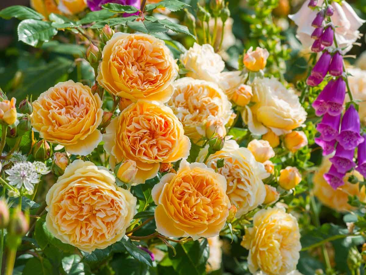 Etrusca – итальянская роза серии тоскана