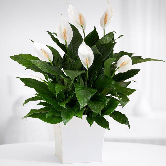цветок любви комнатный название