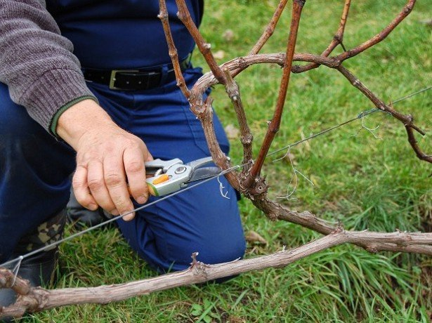 Как правильно подготовить виноград к зимовке?