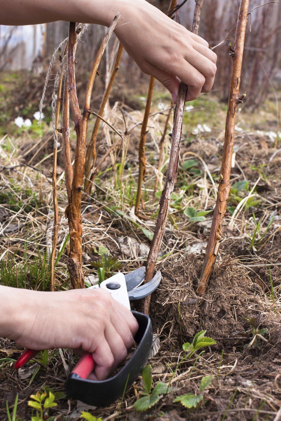 Малина осенью – уход, обрезка и подкормка, особенности проведения процедур для получения богатого урожая