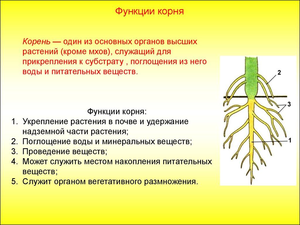 особенности строения корневой системы
