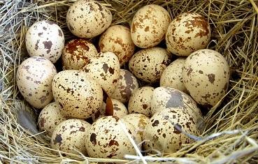Перепелиные яйца – польза и вред