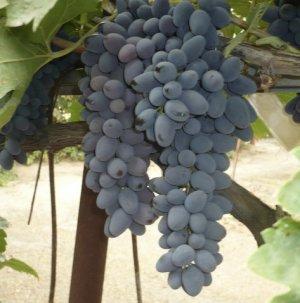 Саженцы и черенки винограда - что необходимо об этом знать