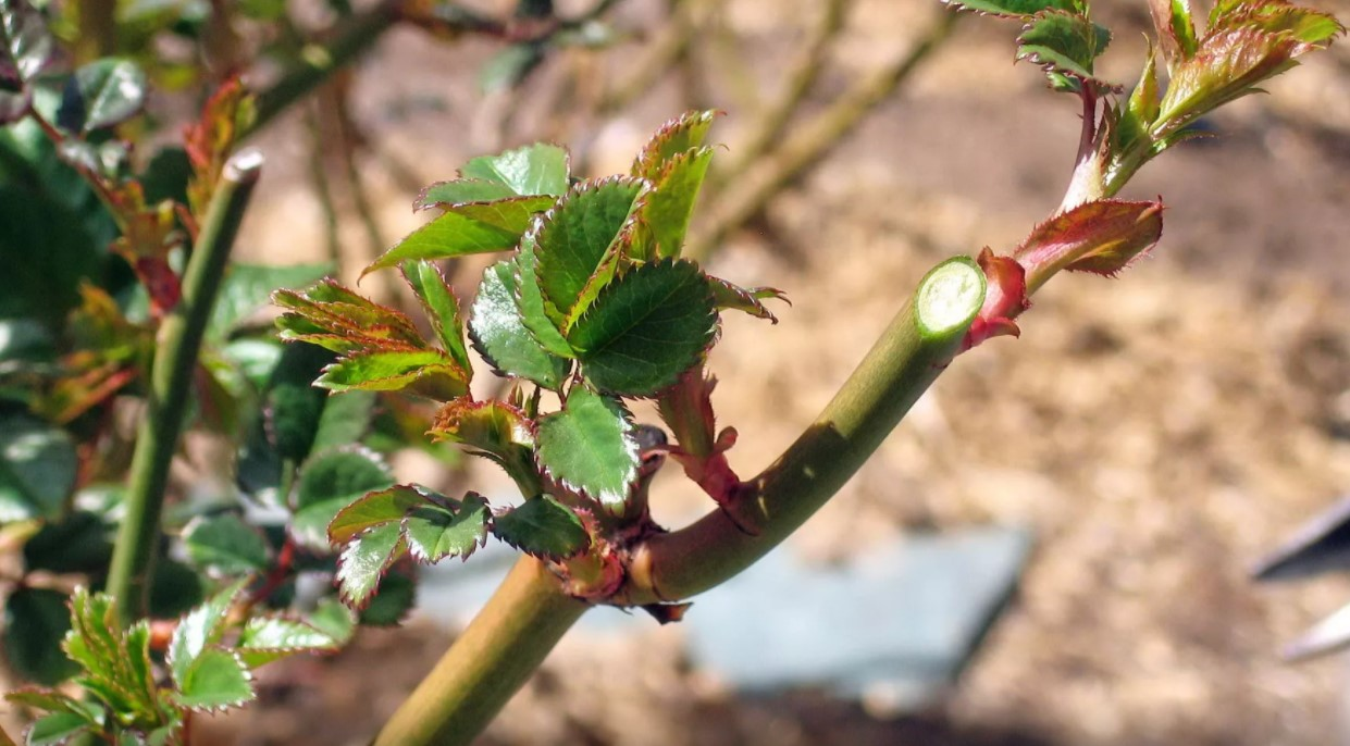 розы обрезка осенью и укрытие на зиму