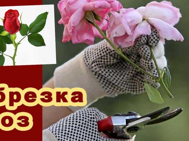 обрезка кустовой розы осенью