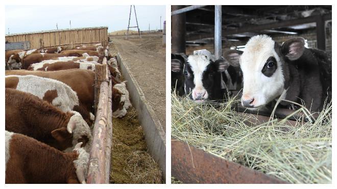 Как открыть бизнес на разведении бычков с нуля, с чего начать и сколько можно заработать (декабрь 2020) — vipidei.com