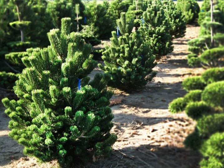 Горная сосна в ландшафтном дизайне (48 фото): декоративные «пумилио» и «фастигиата», обыкновенная сосна на штамбе