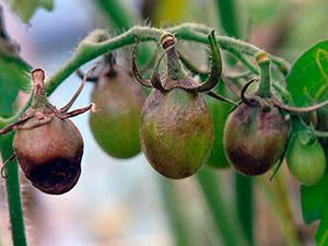 Фитофтороз томатов. профилактика и меры борьбы