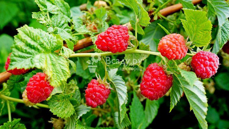 Август, посадка малины: как выбрать место и какие нужны удобрения. выращивание малины на дачном участке, уход за малиной в августе