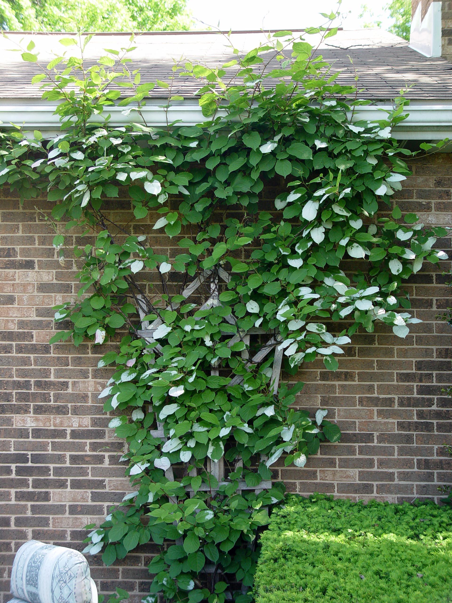Актинидия коломикта самоплодная, вид аргута и другия плодово-ягодные сорта растения