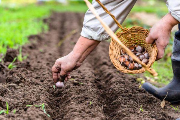 схема посадки чеснока осенью под зиму