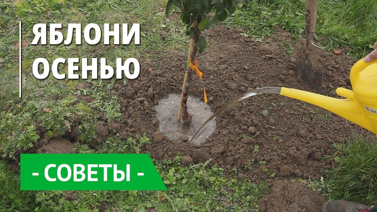 Как и когда лучше сажать яблони в средней полосе: инструкция для начинающих
