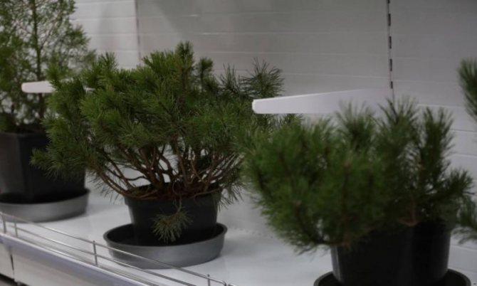Формирование хвойных и лиственных растений