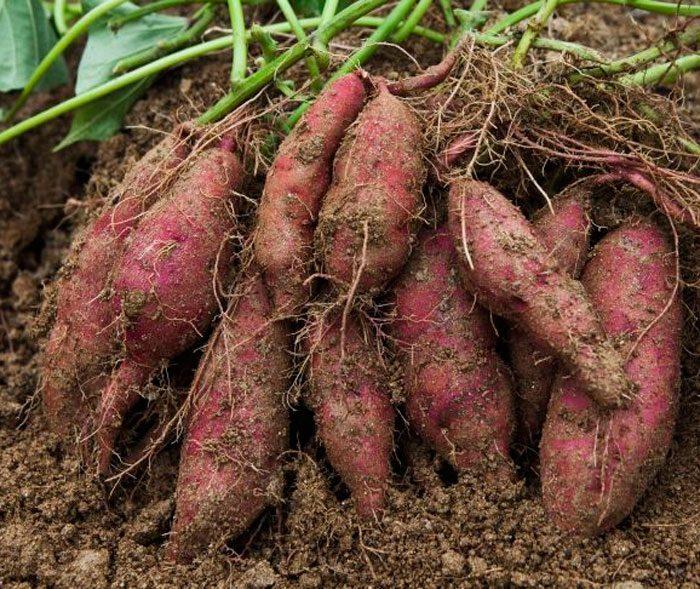 Батат: секреты выращивания в средней полосе