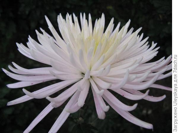 Зимостойкие сорта хризантемы: популярные, корейские, многолетние
