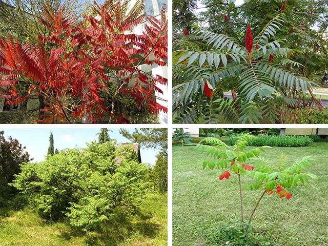 Сумах пушистый дерево, выращивание сумаха, уход зимовка и размножение сумаха