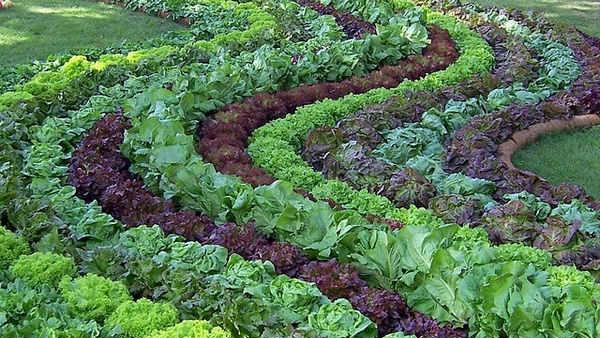 Совместимость овощей на грядке: вот как легко сделать урожайные грядки на даче.
