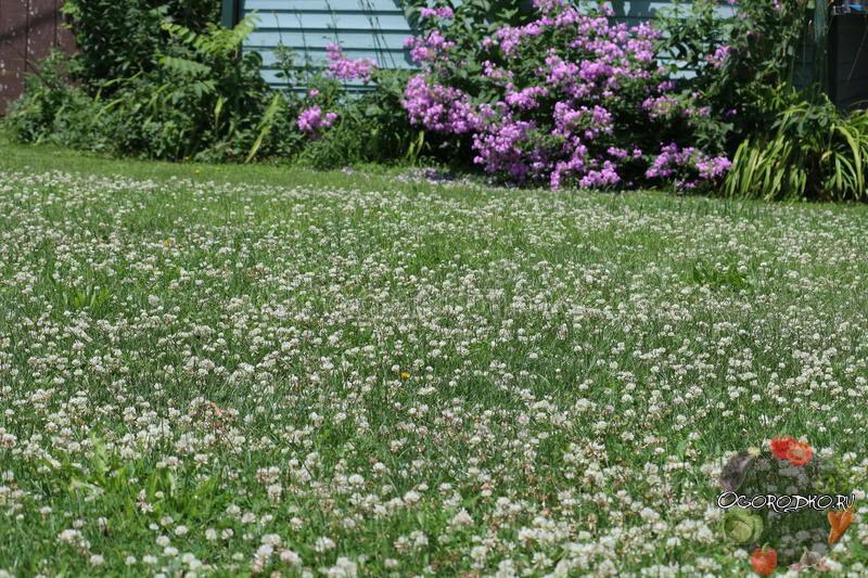 Клевер: виды и сорта. описание сортов клевер с фото   огородники