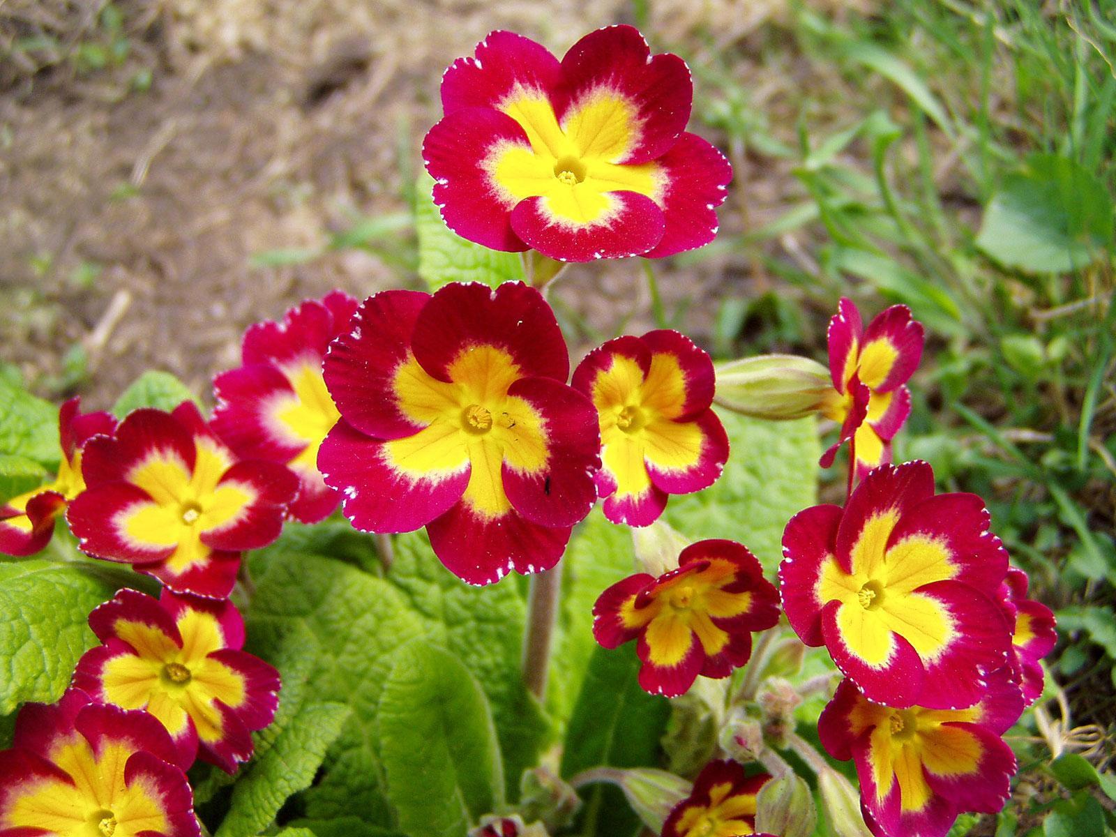 Яркие многолетние примулы: особенности посадки и ухода, фото растения
