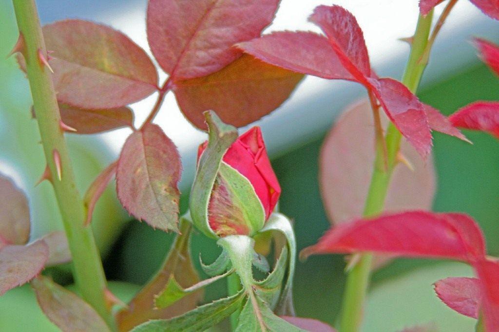 Чем обработать розы осенью перед зимой.