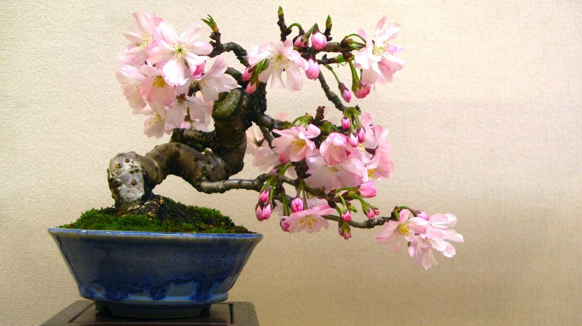 Японская сакура: фото цветов, плодов, листьев, описание видов, сортов дерева и уход за растением