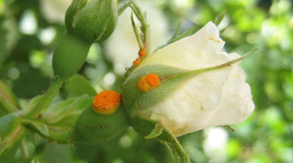 Железный купорос осенью для роз как разводить