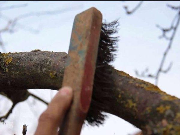 Лишайник и мох - как избавиться на плодовых деревьях?