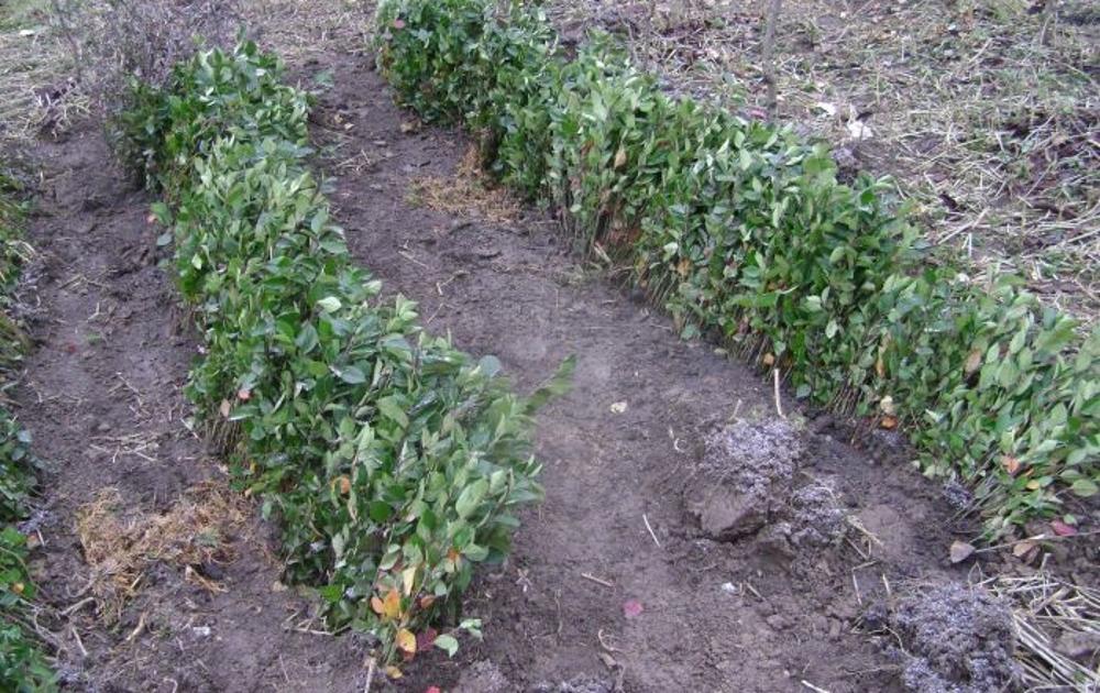Кизильник: посадка и уход в открытом грунте, выращивание в саду