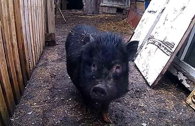Вьетнамская вислобрюхая свинья: характеристика и содержание породы
