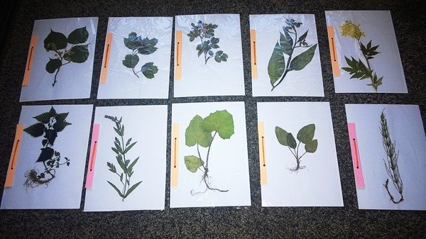 как делать гербарий из листьев