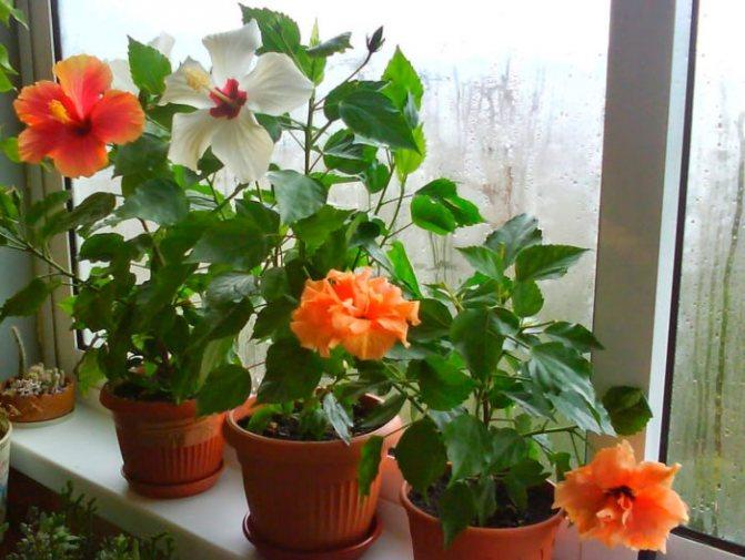 цветок любви комнатный название фото